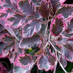 tricolor beech photo